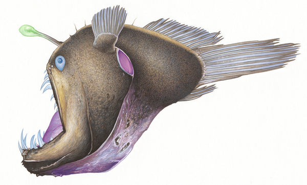Deep-sea anglerfish (Diceratias sp.)