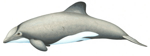 Chilean dolphin male