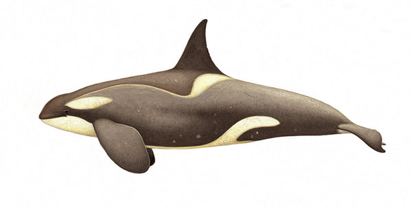 Killer whale or orca (male Small Type B or Gerlache ecotype) with diatoms