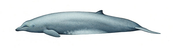 Arnoux's beaked whale (calf)