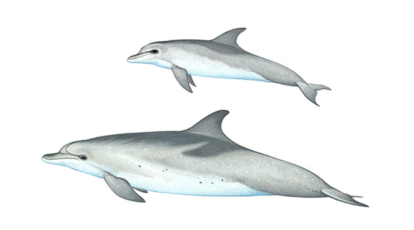 Atlantic spotted dolphins (calf 'two-tone' heavily spotted with juvenile 'speckled')