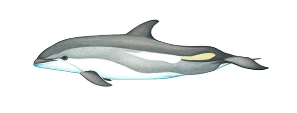 Atlantic white-sided dolphin (calf)