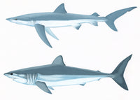 Blue shark (Prionace glauca) (top) & shortfin mako shark (Isurus oxyrinchus)