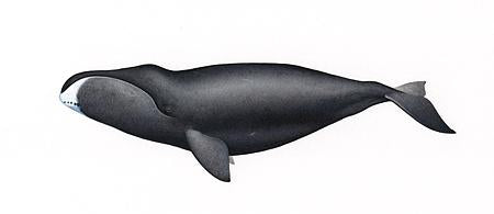 Bowhead Whale Original Artwork