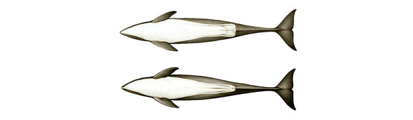 Burmeister's porpoises (female above, male below)