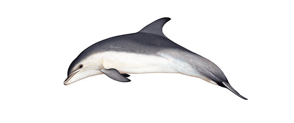 Common bottlenose dolphin (Burrunan form)