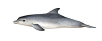 Common bottlenose dolphin (calf)