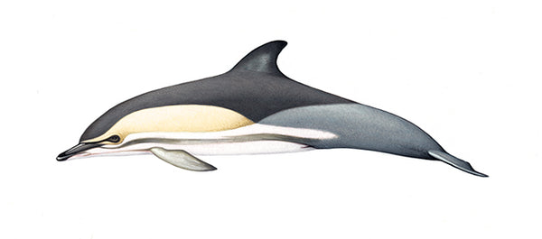 Common dolphin (Black Sea)