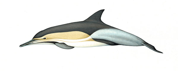Common dolphin (Indo-Pacific - tropicalis)