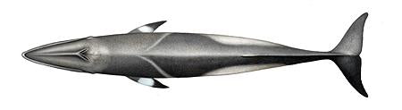 Common Minke Whale Original Artwork