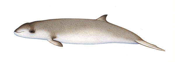 Cuvier's beaked whale (calf)