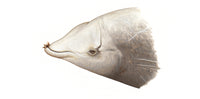 Cuvier's beaked whale (male with barnacles)