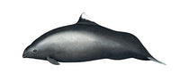 Dall's porpoise / harbour porpoise all-black hybrid