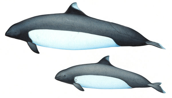 Dall's porpoise (female & calf True's subspecies)