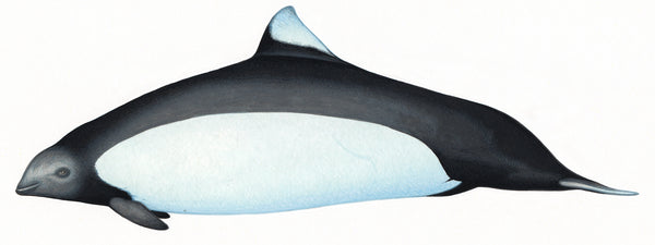 Dall's porpoise (True's subspecies)