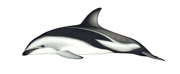 Dusky dolphin (New Zealand)