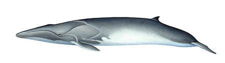 Fin Whale (Calf) Original Artwork