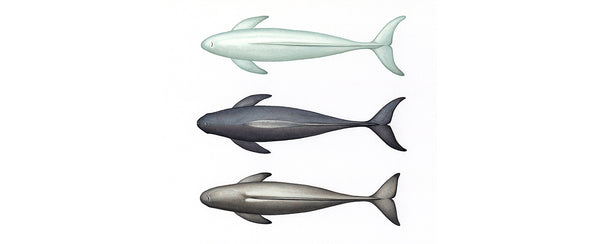 Finless porpoises (top to bottom: narrow-ridged East Asian Japanese colour morph, Indo-Pacific, narrow-ridged East Asian subspecies)