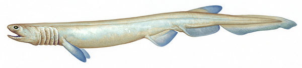 Frilled shark (Chlamydoselachus sp.)