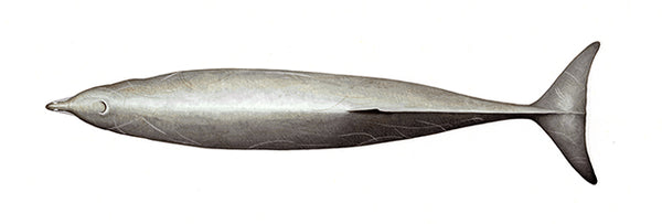 Gervais' beaked whale (male)