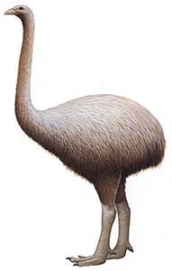Giant moa (Dinornis sp); extinct since 15th century