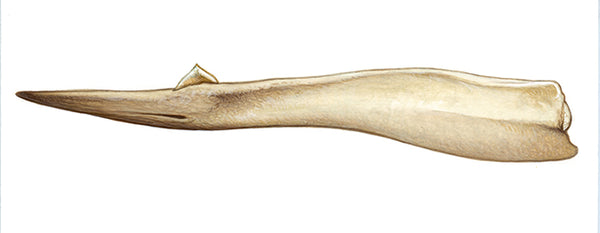 Gray's beaked whale (male lower jaw)