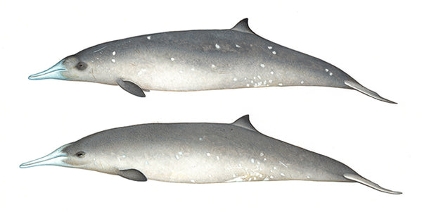Gray's beaked whales (females)