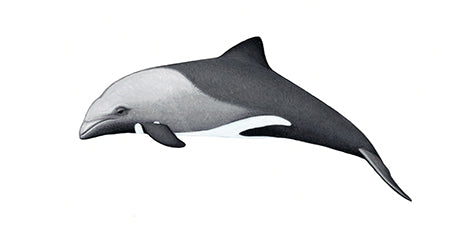 Heaviside's dolphin calf