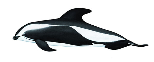 Hourglass dolphin (male)