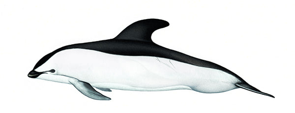 Hourglass dolphin (adult male variation)