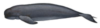 Indo-Pacific finless porpoise (central-eastern type)