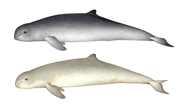 Irrawaddy dolphins