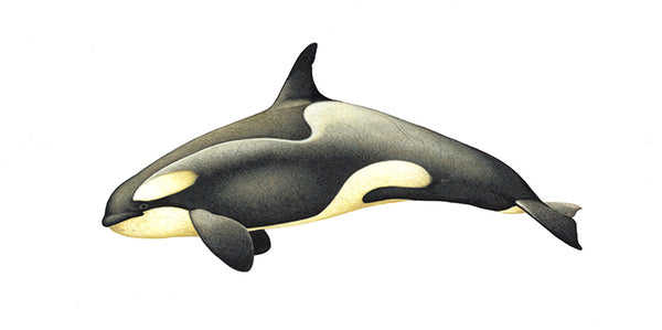 Killer whale or orca (female Antarctic Large Type A or Pack Ice ecotype) with diatoms