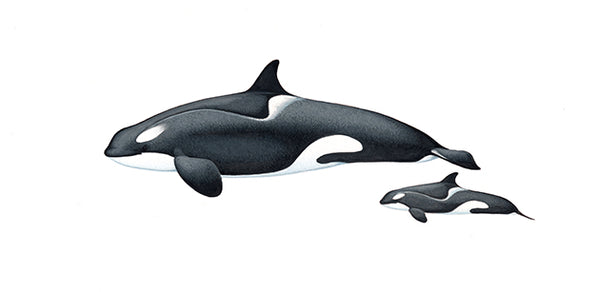 Killer whales or orcas (female and calf Antarctic Type C or Ross Sea ecotype)