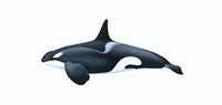 Killer whale or orca (male Antarctic Type C or Ross Sea ecotype)