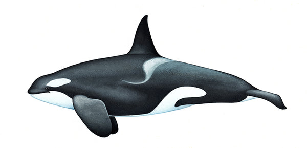 Killer whale or orca (male Strait of Gibraltar)