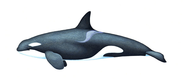 Killer whale or orca (juvenile Resident ecotype)