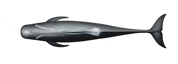 Long-finned pilot whale (male)