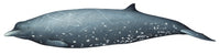 Sato's or dwarf Baird's beaked whale (newly described species) - male