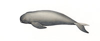 Narrow-ridged finless porpoise calf