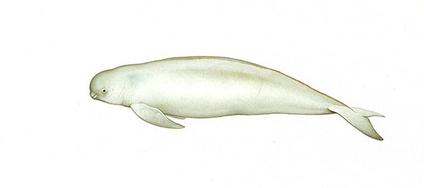 Narrow-ridged finless porpoise (East Asian subspecies Japanese colour morph)
