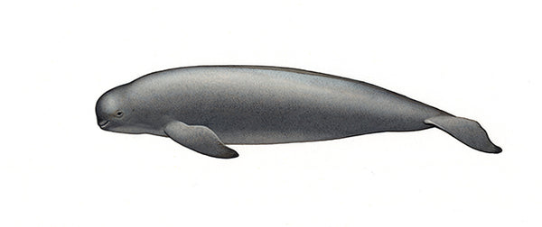 Narrow-ridged finless porpoise (Yangtze subspecies)