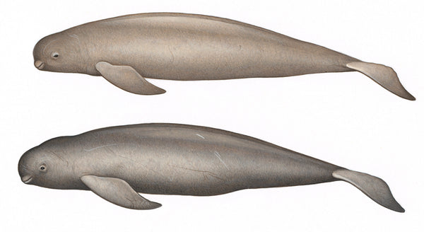 Narrow-ridged finless porpoise (female, top, & old male)