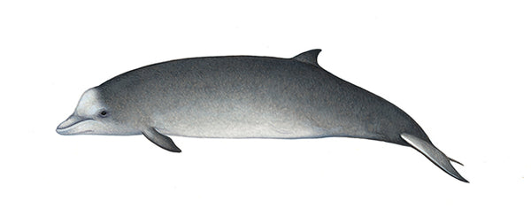 Northern bottlenose whale (calf)