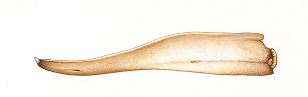 Northern bottlenose whale (male lower jaw)