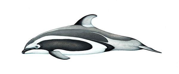 Pacific white-sided dolphin (Brownell morph)