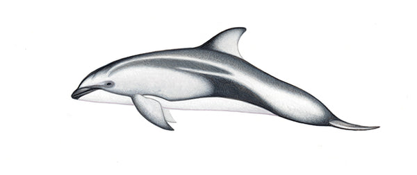 Pacific white-sided dolphin (calf)
