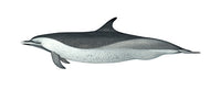 Pantropical spotted dolphin (coastal)