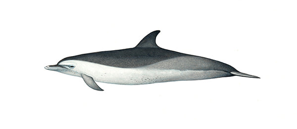 Pantropical spotted dolphin (speckled juvenile)