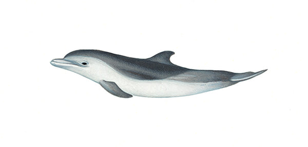 Pantropical spotted dolphin ('two-tone' calf)